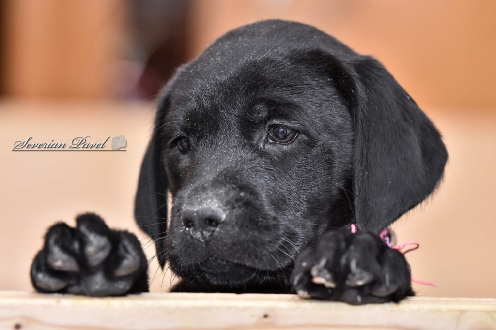 Guide Dog Picture - Puppy